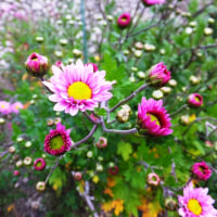 さぁ~寒菊の時期、ピンクや赤が咲き出し…