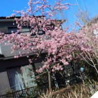 小田急相模原付近・緑道から見ることができる河津桜。