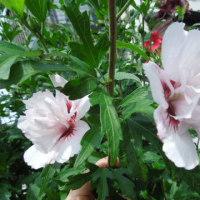 ムクゲ、ギボウシに花が・・・