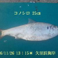 笑転爺の釣行記 11月26日☀ 久里浜海岸 コノシロ25cm