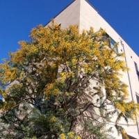 咲き始めたミモザの花