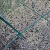 雑草なすび