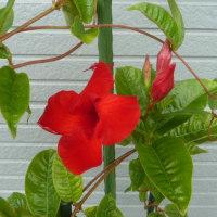今年もサンパラソル・ジャイアントが咲き始めました!