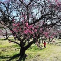 今治市桜井の綱敷天満神社の観梅会