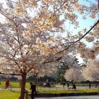 ◆ まだ見ごろの駿府城公園のサクラ
