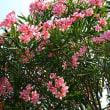 『季節の花』 夾竹桃