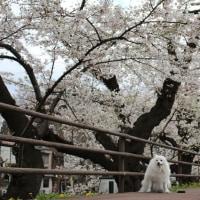 盛岡桜まつり~