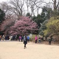 新宿御苑の桜など花盛り