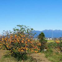 雀のお奨め<かきのきのあるふうけい>見ながら力丸町の『こむぎ』にうどん食べに行ったらコスモス畑の向こうに赤城山…