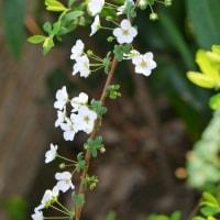ハクモクレンの花が咲いた♪(3月22日)