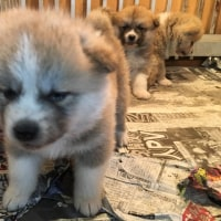 秋田犬の小犬