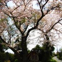 『大磯の桜』 愛の地蔵尊