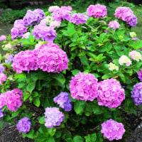 道ばたに咲いてる紫陽花・・・
