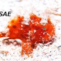 カエルアンコウの幼魚!! 2017年 4月28日