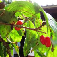 弘道館の山茱萸の実