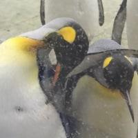 夫婦者ペンギン・王様