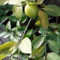 レモンの樹