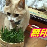 猫の便秘に猫草は効く!?【猫日記こむぎ&だいず】2017.03.22