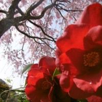 まださいてるよ。桜。