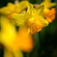 2017西洋スイセンが花開き春がきたよとラッパを鳴らす 2(福岡市東区海の中道海浜公園)