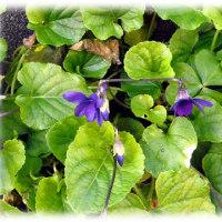 菫の花咲くころ(^^♪路傍にひっそりと咲いていた 花の形状が墨入れに似ている「スミレの花」