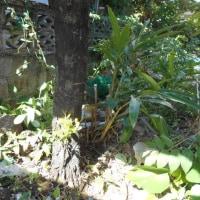 琉球黒檀の伐採