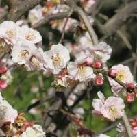 梅の花(花木園)