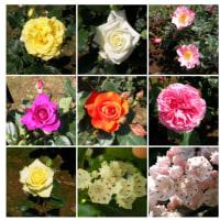 20060521都市緑化植物園。春のバラの季節