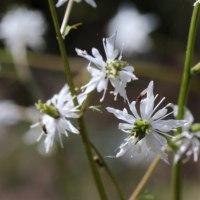 セリバオウレン(キンポウゲ科・オウレン属)多年草
