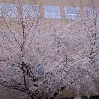 まだ桜が満開です。