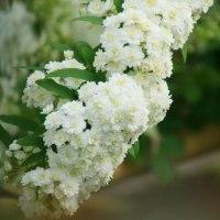 コデマリ花咲く