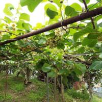 昨年より1週間遅れで、キウイ「紅芯」早生種の花が満開になりました。