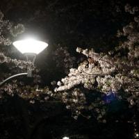 常夜灯の桜