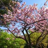 【番外】八重桜満開&タケノコ!?