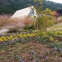秋桜の花咲く魚沼の里
