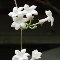 マダガスカル・ジャスミン