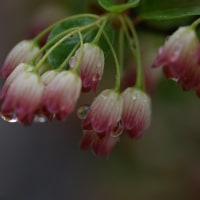 サラサドウダンの花