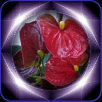 アンスリゥムの花