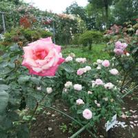 日本で一番長い薔薇の回廊(川島町)