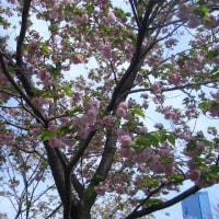 造幣局桜の通り抜け2017〜その1〜