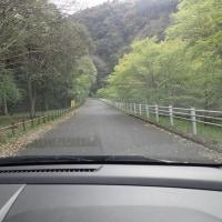 4月下旬の須津川渓谷:車の前をゆっくりと歩くハクビシン