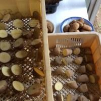 ジャガイモ種芋の準備
