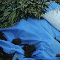 稲藁ともみ殻頂きました  柿収穫  マメ播種