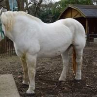 ペルシュロン「白馬」