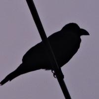 3/23 この子は上の電線に もう1羽は下にいたけど写真が悪くて投稿しない