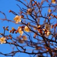 梅が咲いた・・・