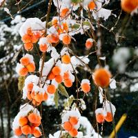 11月の突然の雪に柿もコスモスも・・・