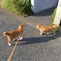 散歩の分かる猫