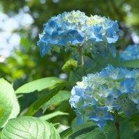 真夏日の今日、アジサイが咲き始めていました。