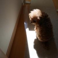 小さな日向ぼっこ♪トイプードルプーナ♪